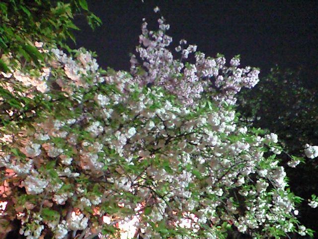 造幣局の夜桜!行ってきましたよん